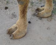 camel toes